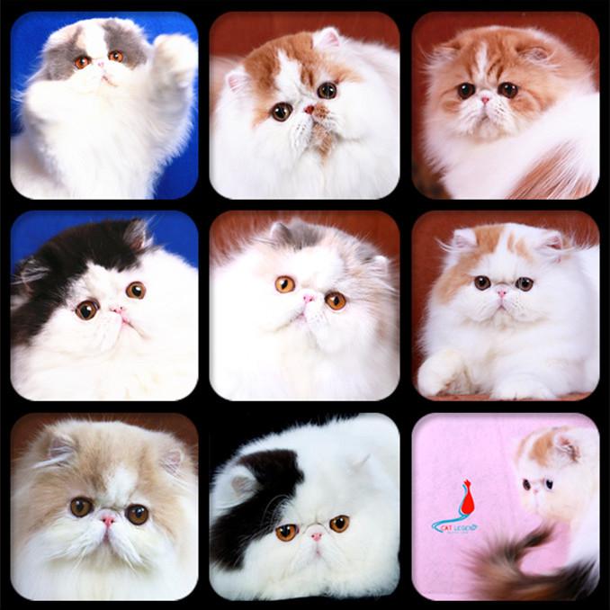 www.catlegendspersian.com - 波斯传奇  - 波斯传奇 专注繁育顶级波斯猫